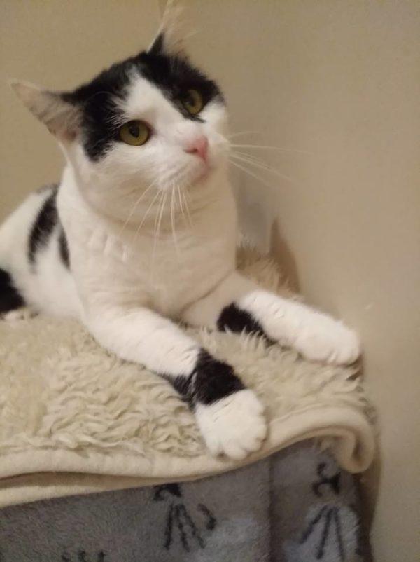 Chat noir et blanc couché