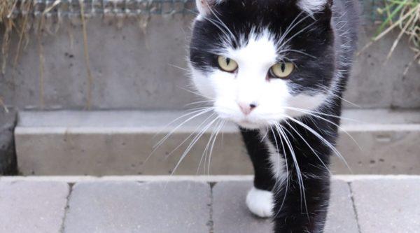 Chat noir et blanc qui marche