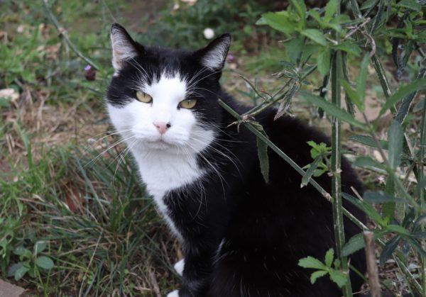 Chat noir et blanc assis