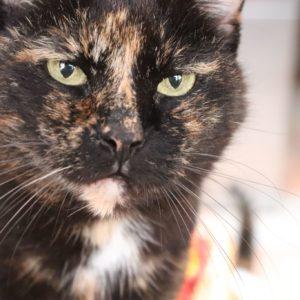 Chat noir taché roux yeux vert