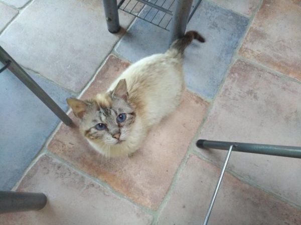 Chat beige, yeux bleus