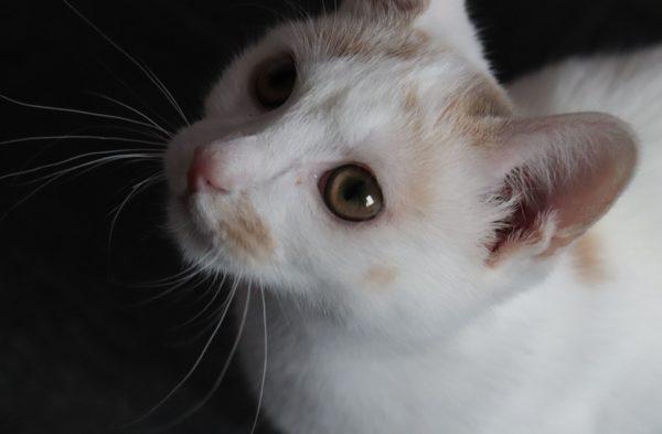 Chat blanc et roux