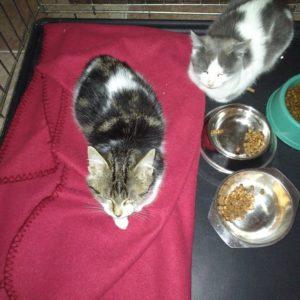 Deux chatons couchés, un gris et blanc et un marbré.